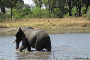 Russische beer of Afrikaanse olifant?