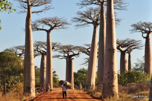Baobabbomen op Madagaskar